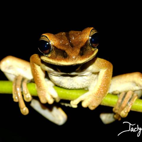 Yasuni broad-headed treefrog