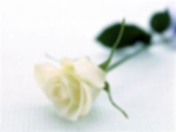 single white rose.jpg