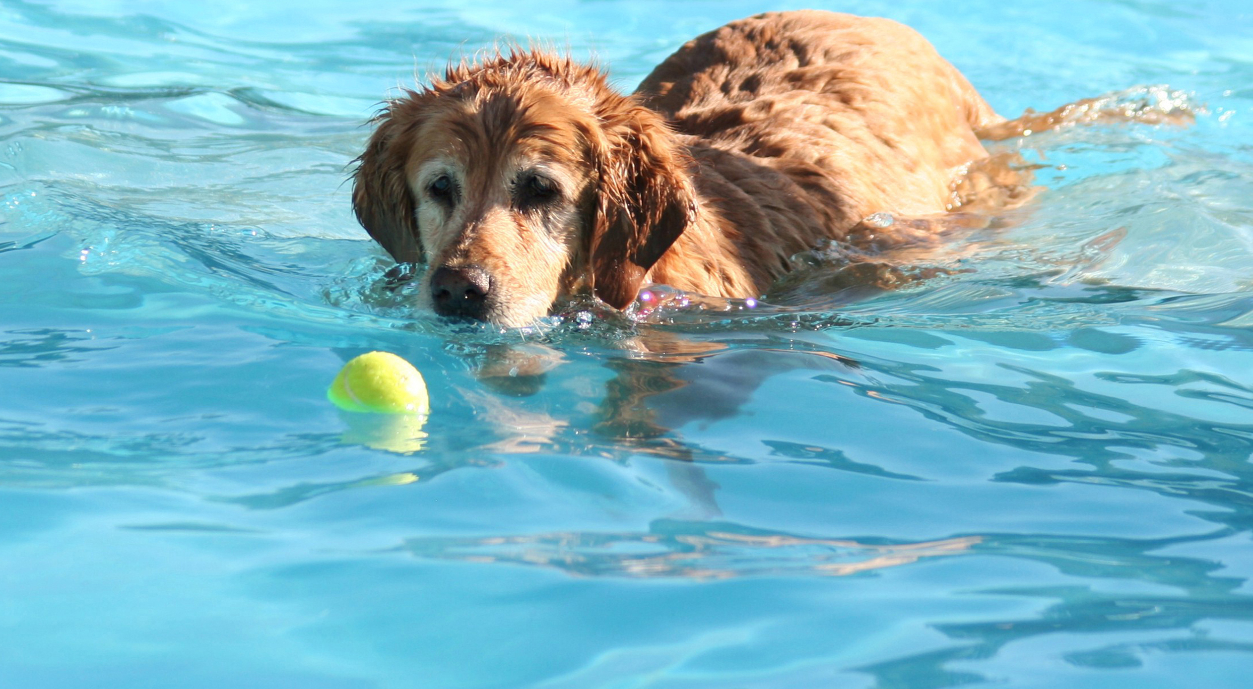 eldery-dog-swimming.jpg
