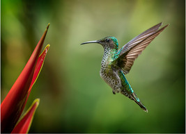 COLOUR: 'White - Necked Jacobin Female Humming Bird' by Brendan Hinds - CB Camera Club