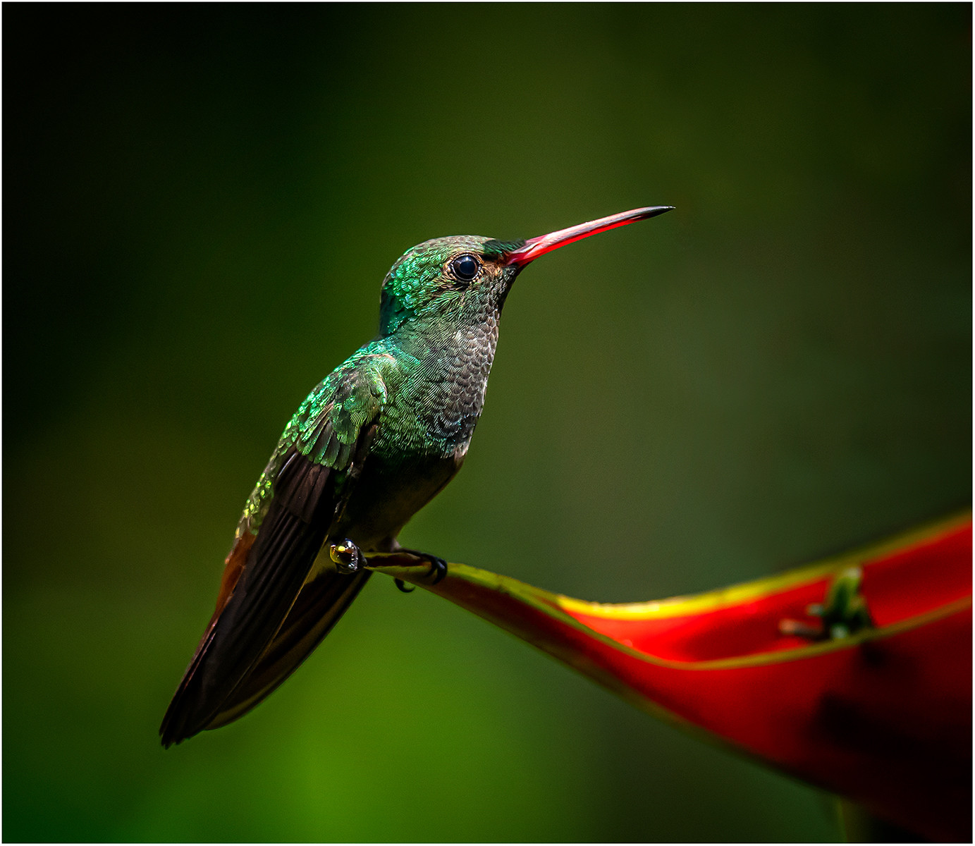 'Rufous-tailed Hummingbird' by Brendan Hinds (13 marks)  -  CB Camera Club