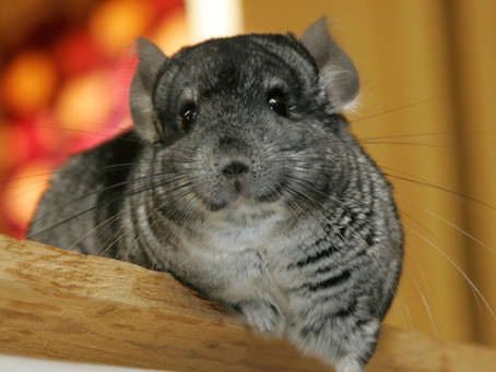 Three Bacterial Infections Chinchilla Parents Need to Know About