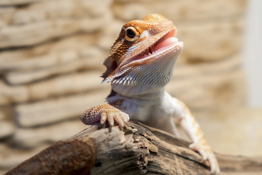 Reptile Stomatitis: Healthy Mouth of Bearded Dragon Lizard