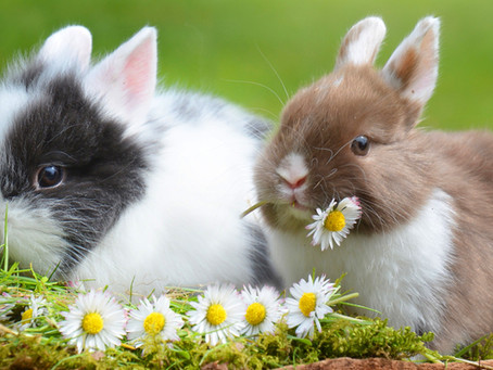 Cecal Dysbiosis in Rabbits: The Importance of Making Sure Your Rabbit's Gut Is Healthy