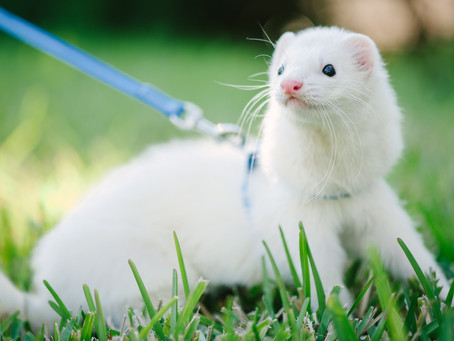 Urolithiasis: Diagnosing Urinary Tract Obstructions in Ferrets
