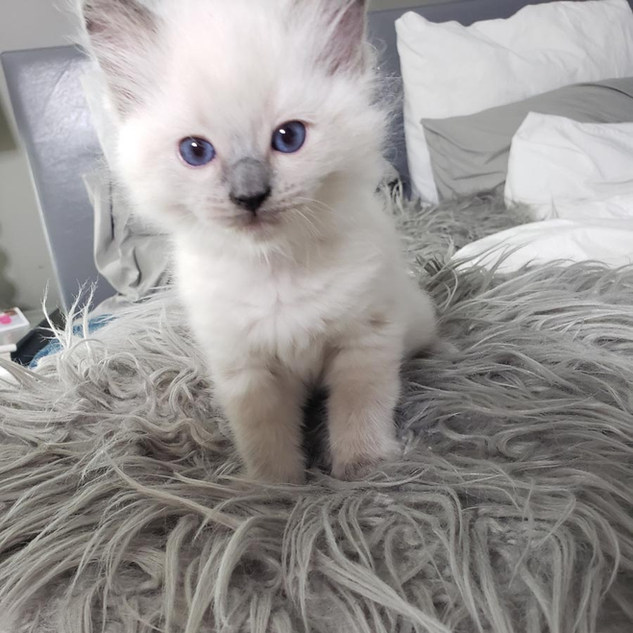 KittensRoyalRagDoll8.jpg