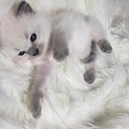KittensRoyalRagDoll27.jpg