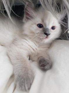 KittensRoyalRagDoll7.jpg