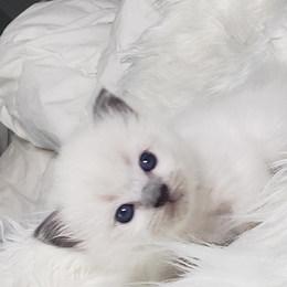 KittensRoyalRagDoll23.jpg