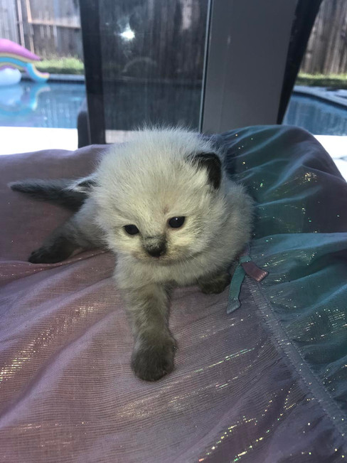kittyragdoll.jpg