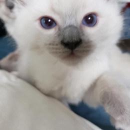 KittensRoyalRagDoll4.jpg