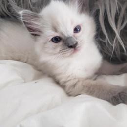 KittensRoyalRagDoll5.jpg