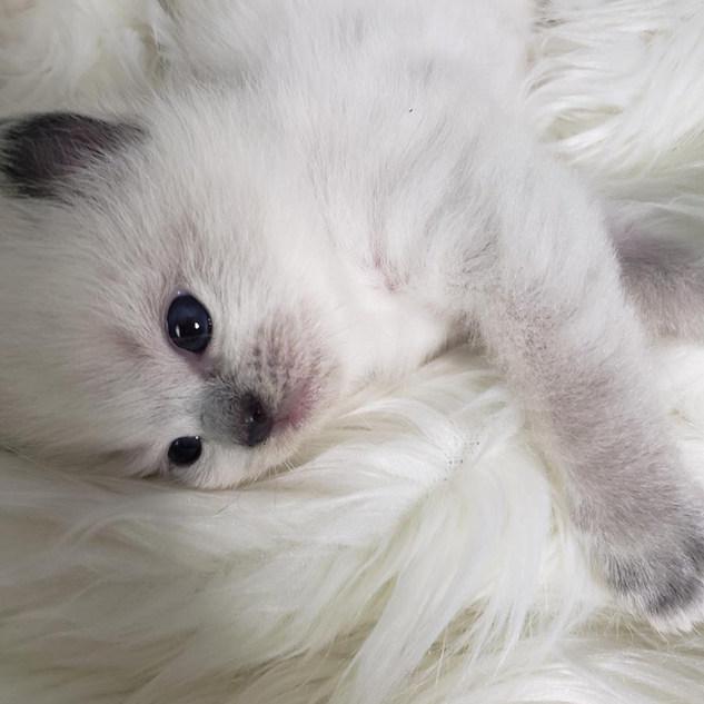 KittensRoyalRagDoll10.jpg