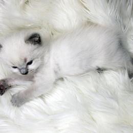 kittens ragdoll.jpg