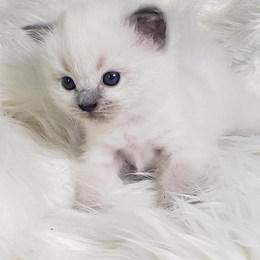 KittensRoyalRagDoll28.jpg.jpg