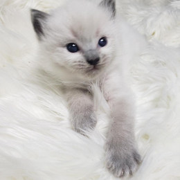 KittensRoyalRagDoll19.jpg