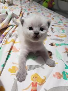 KittensRoyalRagDoll22.jpg