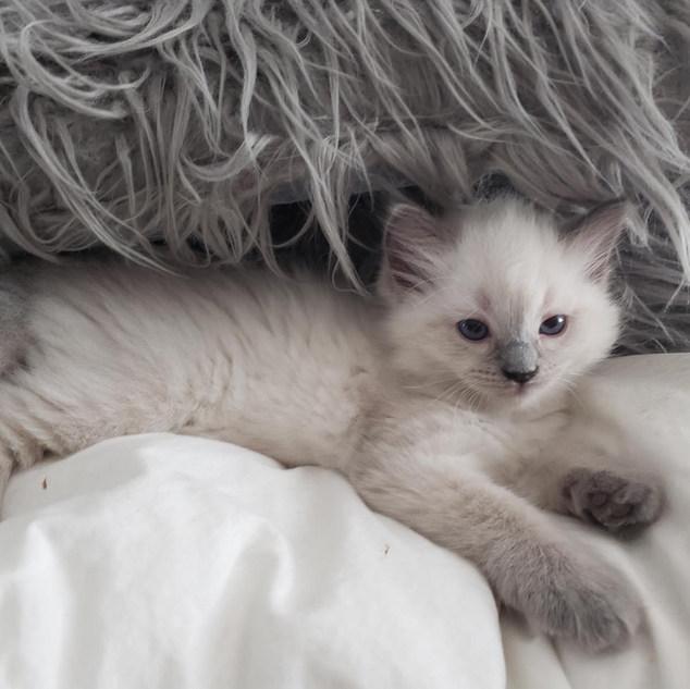 KittensRoyalRagDoll25.jpg