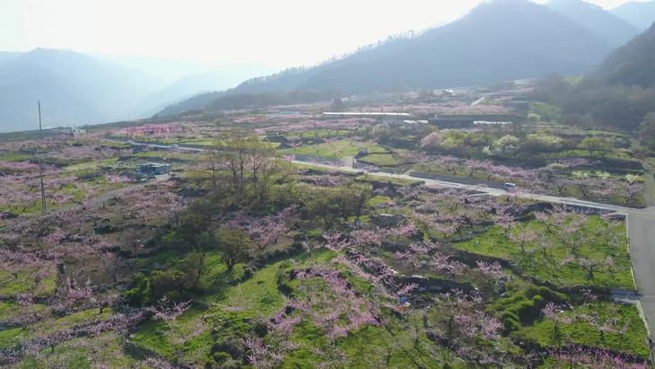 桃の花風景.mov