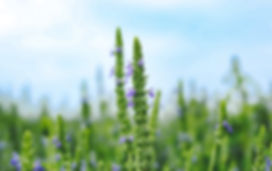 Heartland Chia USA grown chia seed plant