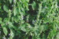 chia seed usa grown chia plant