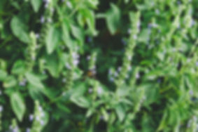 Heartland Chia Plant