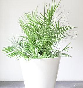 majestic palm