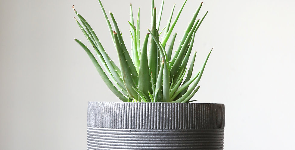 aloe hedgehog