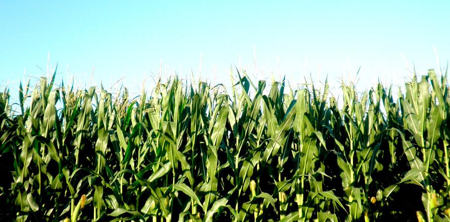 Governador Pedro Taques analisa cobrança do Fethab sobre o milho; produtores são contra. Crédito ForBeeDee