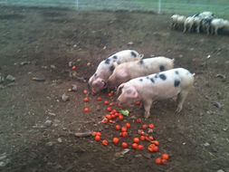 The Real Pig Company believe free range is best