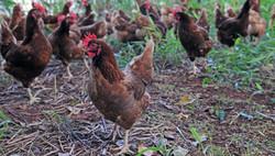 cageri granja ovos caipiras
