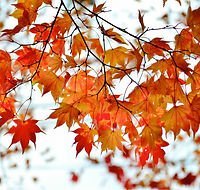 maple tree leaves.png