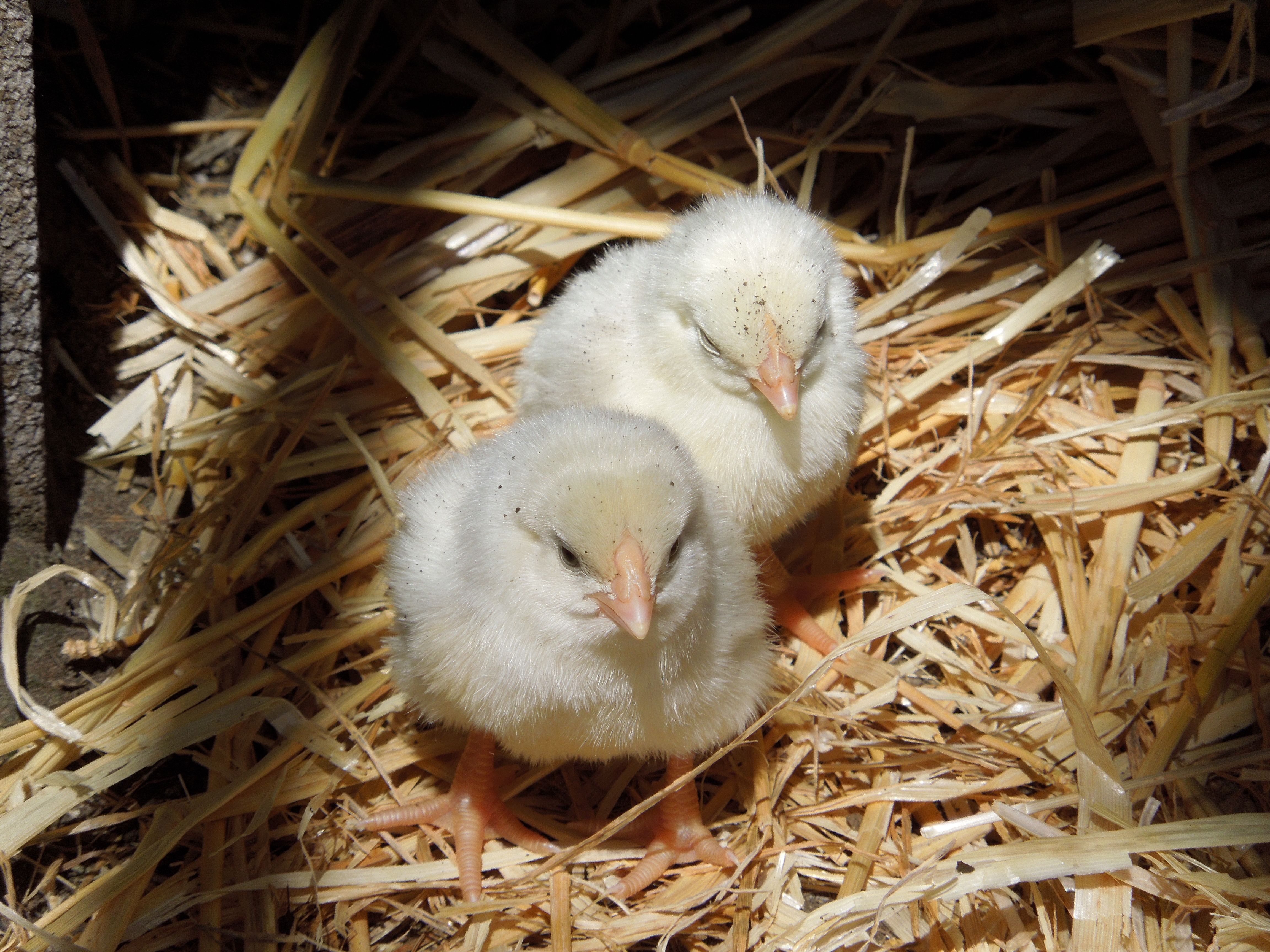 Pulcini di gallina padovana