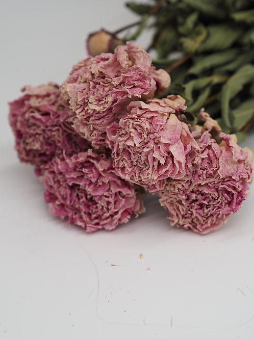 Getrocknete Pfingstrosen weiß-rosé / 1 Bund