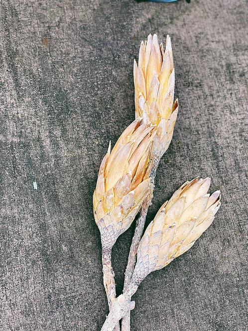 Getrocknete Protea / Repens 3 Stück weiß gewaschen
