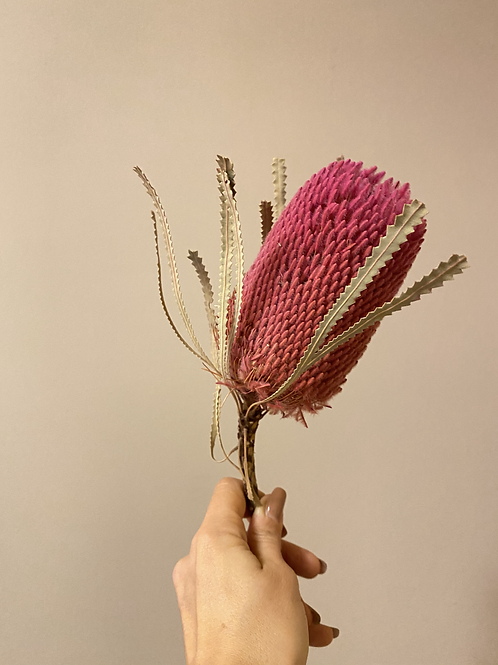 Banksia pink / 1 Stück