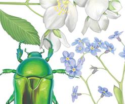 Wissenschaftliche Illustration Botanik