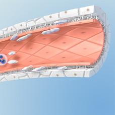 Medizinische Illustration sinusoid vessel