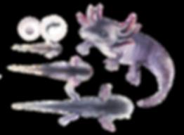 Axolotl by Medical Illustartor Lucille Solomon