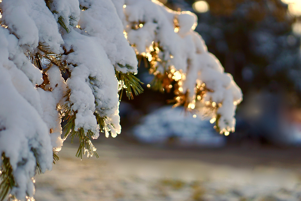 Bokeh golden light of snow on a tree at sunset