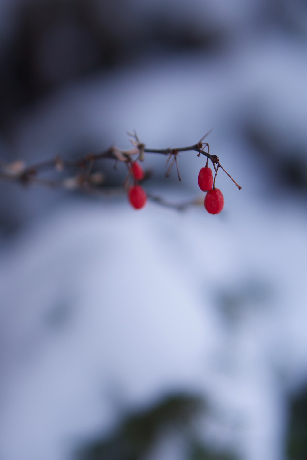 Red berries on cold winter's day