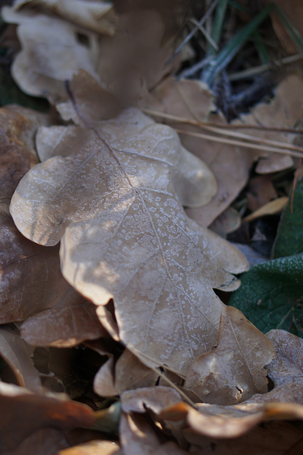 Frosty leaves during winter
