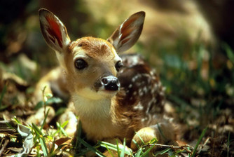 The Wonders of Newborn Fawns