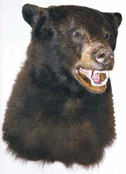 Colorado Black Bear