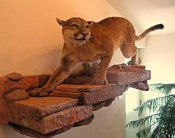 Lion Taxidermy
