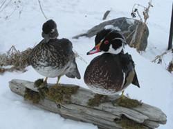 Colorado Wood Ducks