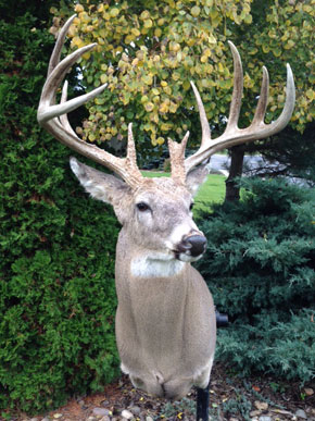Colorado Whitetail