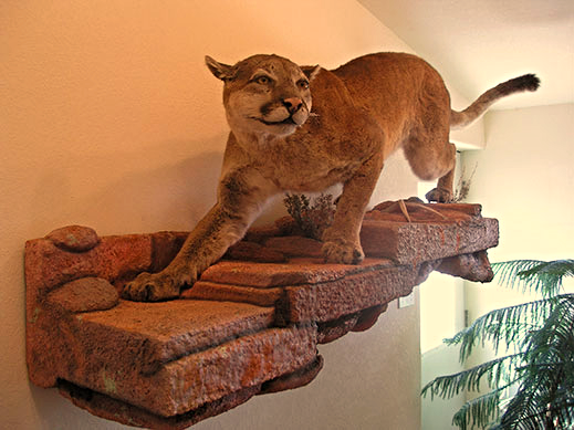 Colorado Mountain Lion