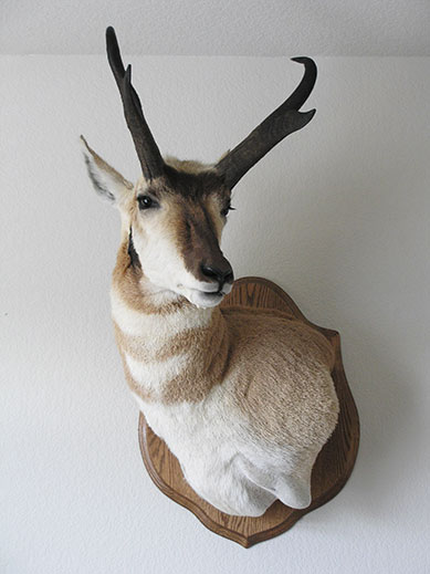Colorado Pronghorn