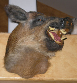 Texas Wild Boar
